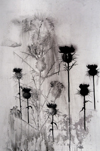 Thistle IV, ink and charcoal on vellum by Heidi Jung